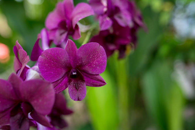 Orchid Phalaenopsis Flowering Plant Flower Plant Fragility Vulnerability  Petal Freshness Beauty In Nature Growth Close-up Inflorescence Flower Head Focus On Foreground Pink Color Purple No People Day Nature Selective Focus Outdoors Springtime Orchid Phalaenopsis Garden Violet