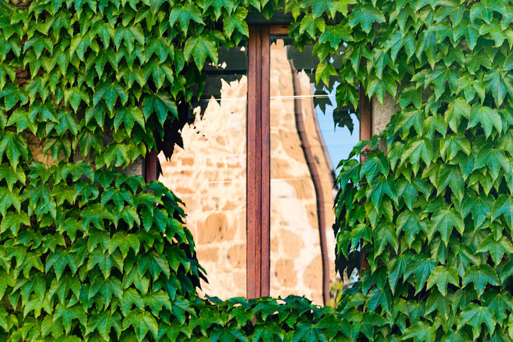 Ivy covered wall with reflection on window