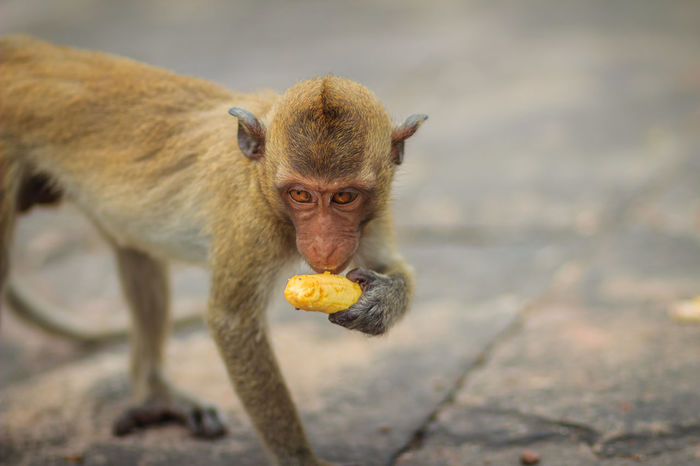 Long-tailed macaque or Crab-eating macaque (Macaca fascicularis) monkey is eating banana from the tourist. Crab-eating-macaque Eat Bananas 🍌 Long-Tailed Macaque Blurry Blurry Background Crab Eating Crab Eating Macaque Crab-eating Macaque Cute Monkey Eat Banana Eating Banana Eating Bananas Long Tailed Macaque Long Tailed Monkey Long-tailed Macaca Macaca Fascicularis Macaque Macaque Monke Macaque Monkey Monkey Monkey Forest Portrait Of Monkey Tropical