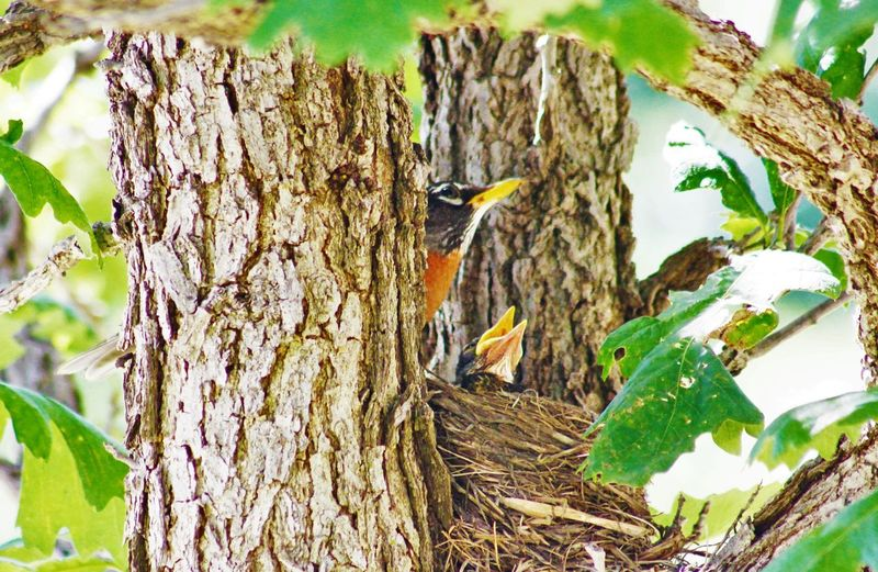 AMERICAN ROBIN AND HER BABIES American Robin Baby Birds Baby Birds In Nest Bird Photography Birds Of EyeEm  Birds_collection Eyeem National Geographic Feathers Feed The Birds Animals From My Point Of View Hatched Hungry National Geographic Nature Nature Lovers Nature On Your Doorstep Nature Photography Nature_collection Outdoor Photography Robins Selective Focus Tree Showcase June Wildlife Photography