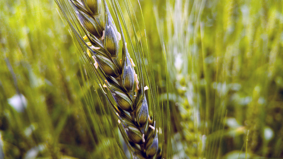 Cereal Plant Plant Crop  Growth Agriculture Wheat Beauty In Nature Close-up Nature Field Rural Scene No People Land Ear Of Wheat Green Color Farm Day Selective Focus Tranquility Landscape Outdoors