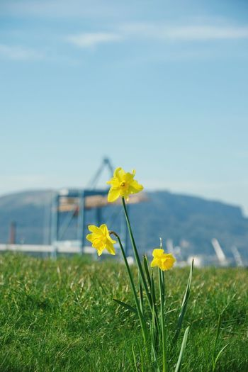 Flower Grass Field Yellow Growth Nature Beauty In Nature Focus On Foreground Freshness Fragility Day Plant Meadow No People Petal Outdoors Flower Head Green Color Close-up Blooming Daffodils Titanic Belfast Ireland