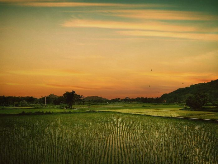 Sunset in the field Sunset Rural Scene Landscape Nature Agriculture Orange Color Field Scenics Farm Dramatic Sky Beauty In Nature Tranquil Scene Growth Tranquility Outdoors No People Day Tree Sky EyeEmIndonesiaCommunity Eyeemindonesia EyeEm Best Shots - Landscape Indonesia_photography EyeEmNewHere Tranquility