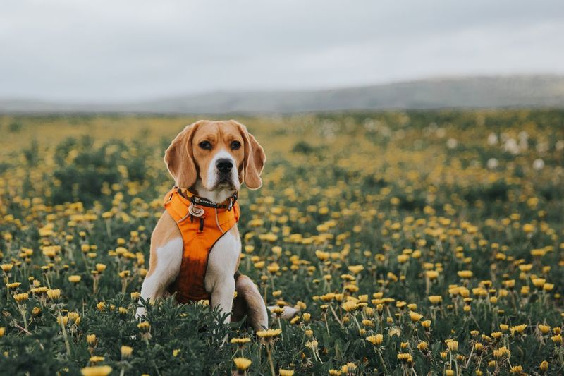 The dog and the flowers Beagle Beautiful Nature Puppy Field Canine Dog One Animal Pets Domestic Animal Themes Domestic Animals Plant No People Flowering Plant Beauty In Nature Field Nature Growth Mammal Flower Day Animal Land Vertebrate