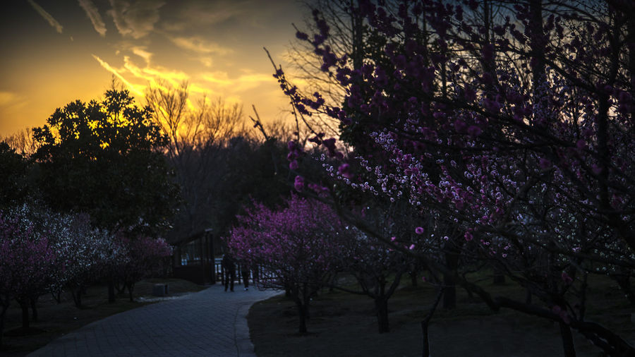 Plum blossom Views in the sunset Plum Blossom Plum Blossoms Plum Blossom Views Dusk Sun Set Plant Tree Beauty In Nature Growth Flower Flowering Plant Nature Blossom Springtime Outdoors