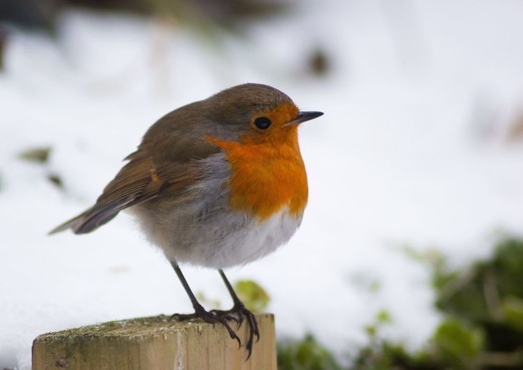 Robin Snow Bird One Animal Animal Themes Focus On Foreground Animals In The Wild Perching Animal Wildlife No People Close-up Day Robin Outdoors Nature