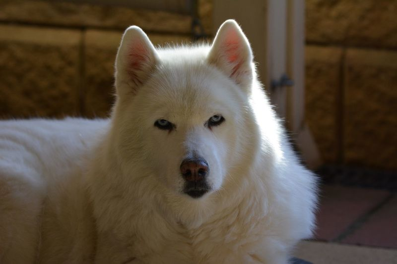 Siberian Husky Mammal Animal Animal Themes One Animal Vertebrate Domestic Pets Portrait Canine Dog Animal Head  Looking Outdoors Domestic Animals Looking At Camera Close-up White Color No People