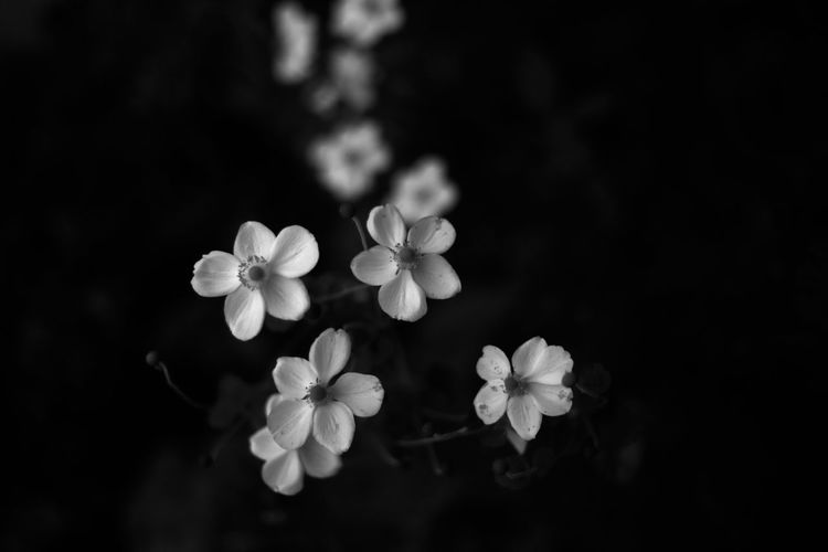 Thanks to these beautiful things that captured my heart and kept me company when i could not leave my home. Black And White Favorite Flower Hepaticas Anemone Monochrome Night Photography Personality  Taken By M. Leith