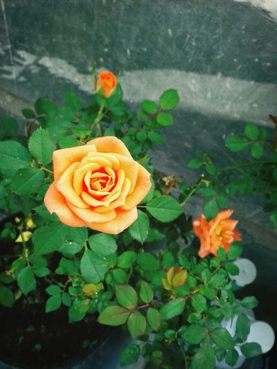 rosa castilla!!! Flowers Relaxing Hi! Taking Photos