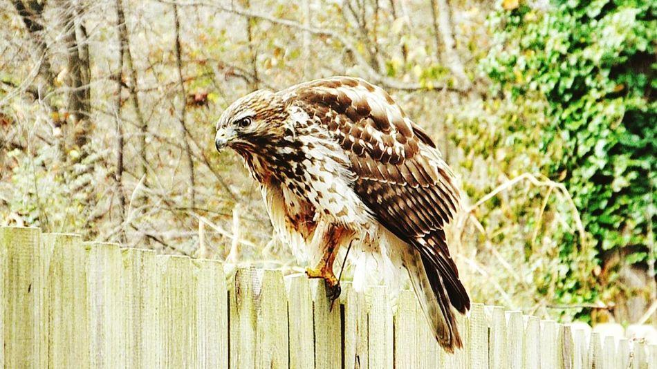Bird Of Prey Focus In Atlanta Hawks
