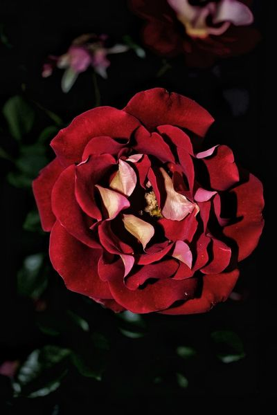 Flower Petal Nature Flower Head Fragility Rose - Flower Beauty In Nature Plant Red Freshness Close-up Outdoors Nightimephotography Young Adult Nature