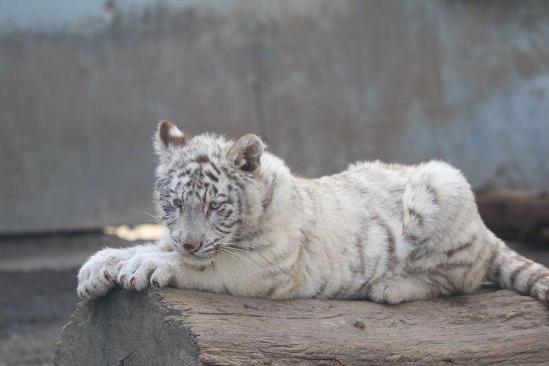 Zoo Tiger EyeEm