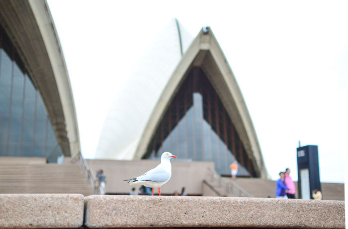 Animal Themes Animals In The Wild Australia Bird City Life Day Flying Focus On Foreground Nature Perching Pigeon Quiet Sea Seagull Side View Sky Stairs Sydney Opera House Tranquility Vertebrate Water Water Bird Wildlife Zoology