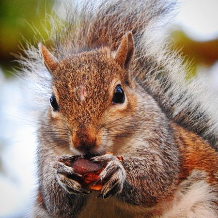 Grey Squirrel. Grey Squirrel Animals In The Wild Nature WoodLand Countryside Uk