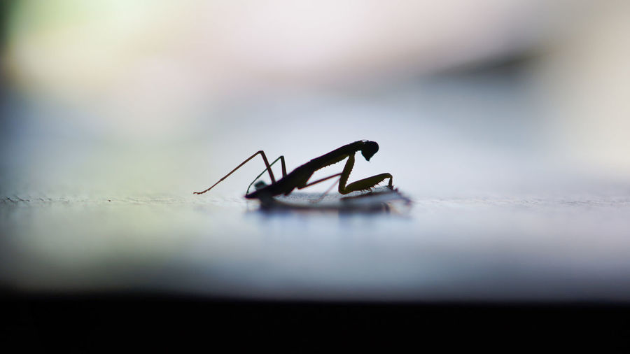 Close-up of silhouette praying mantis on wall