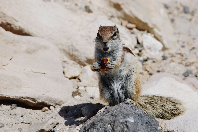 EyeEm Nature Nature_collection Nature Photography Fuerteventura Squirrel Beach Sand Close-up Animal Themes Rodent Peanut - Food
