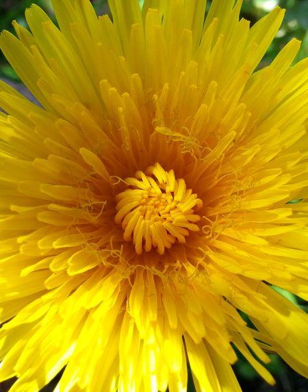 Dandelion Naturaleza Yellow Flower