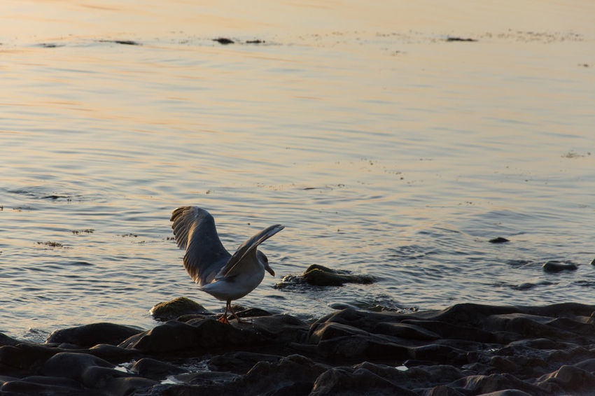 Seagull feathering dry) Seagulls Seagull Seagulls And Sea Birds_collection Bird Photography Birds Bird Animals In The Wild Animal Wildlife Water No People Animal Themes One Animal Nature Sea Beach Outdoors