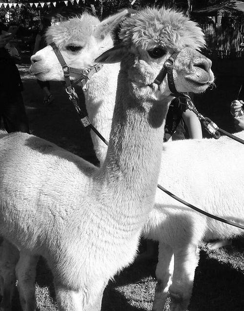 Llamas are terrific posers tbh Animal Themes Nature Outdoors Day Photography Blackandwhite Aesthetic Grunge Farm Life Llamas Bathurst Show Animals Fete Posing
