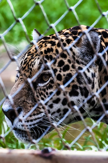 Big Cat Animal Wildlife One Animal Feline Animals In The Wild Animal Themes Animal Markings Animal Leopard Mammal No People Cat Day Vertebrate Selective Focus Nature Carnivora Animals In Captivity Fence Close-up Outdoors Zoo Animal Head