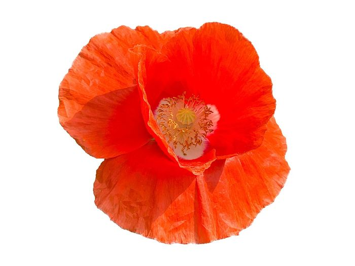 Red Studio Shot Cut Out Flower White Background Flowering Plant Orange Color No People Close-up Plant Nature Poppy Single Object Pollen Beauty In Nature Flower Head Indoors  Petal Directly Above Freshness