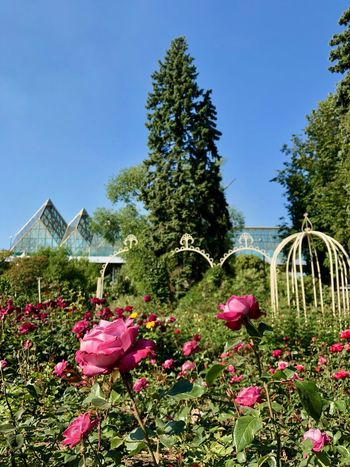 Gorky Park Moscow Pink Rose Summertime Architecture Beauty In Nature Garden Moscow Life Nature No People Outdoors Park Park - Man Made Space Park Gorkogo Pink Color Rosé Rose - Flower Rose Garden Summer