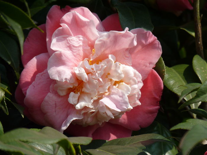Camellia Camellia Beauty In Nature Camellia Flower Camellia Flowers Close-up Flower Flower Head Flowering Plant Fragility Freshness Growth Inflorescence Leaf Nature No People Outdoors Peony  Petal Pink Color Plant Plant Part Rosé Rose - Flower Vulnerability