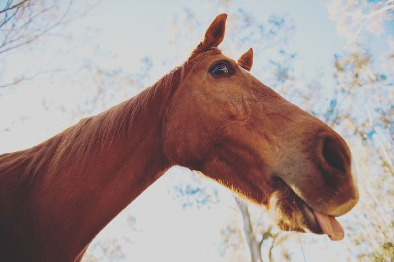 Funny Horse Horse Domestic Animals Animal Themes One Animal Animal Head  Mammal Livestock Brown Close-up Standing Field Day Sky Outdoors No People Portrait