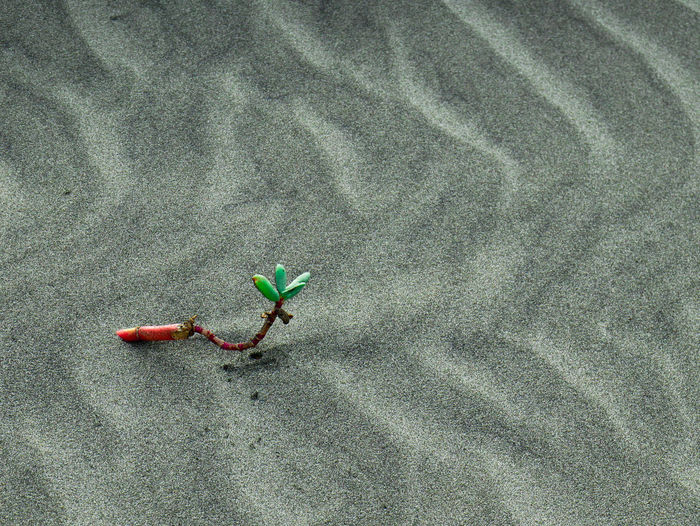 a Little plant with three Green leaves in the middle of sand dunes of a caribbean beach near Cartagena High Angle View Land Day Green Color Nature Plant Beauty In Nature Outdoors No People Growth Red Plant Part Animal Wildlife Flower Leaf Close-up Sand Gray Animals In The Wild Animal