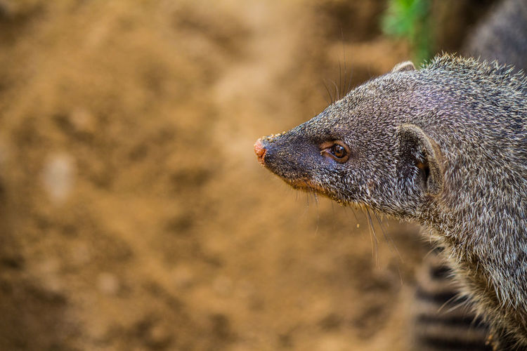 Close-Up Of Mongoose On Field