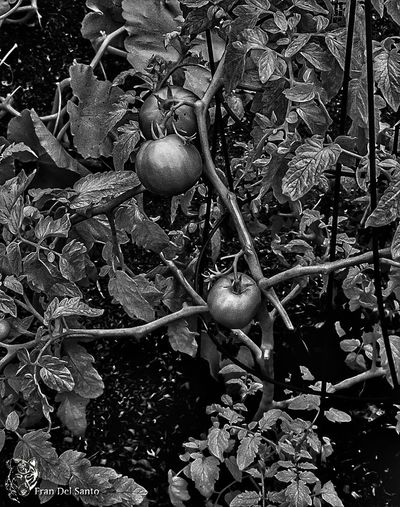 Infrared tomatos any different than other tomatos Growth Special Effects Fruits And Vegetables Tomatos On The Vune