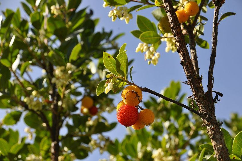 Sardinia fruit Fruit Tree Food Agriculture Healthy Eating Leaf Freshness No People Day Branch Nature Low Angle View Growth Outdoors Hanging Beauty In Nature Rural Scene EyeEm Nature Lover Sunlight And Shadow Fruits Of Arbutus Arbutus Unedo Sardinia
