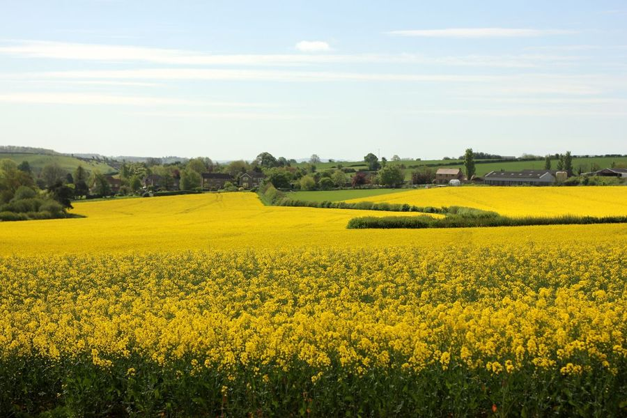 rapeseed field Agriculture Beauty In Nature Crop  Cultivated Cultivated Land Day Farm Field Flower Freshness Growth Landscape Mustard Plant Nature No People Oilseed Rape Outdoors Rural Scene Scenics Sky Springtime Tranquil Scene Tranquility Tree Yellow