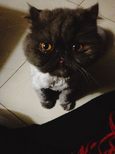 Oh, don't look me that way hahahah Cute Cat Big Eyes Caramel Eyes Gray Cat♡ My Cat Mia Miau