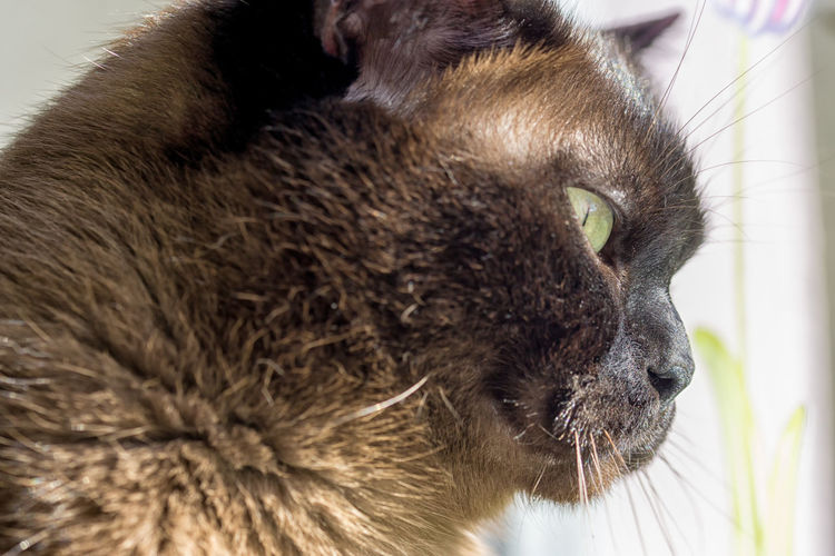 Portrait of a big male cat - mix of British Shorthair and Burma Animal Themes British Shorthair Cat Cat Lovers Cats Cat♡ Chocolate Close-up Day Domestic Animals Domestic Cat Feline Focus On Foreground Mammal No People One Animal Outdoors Pets Whisker