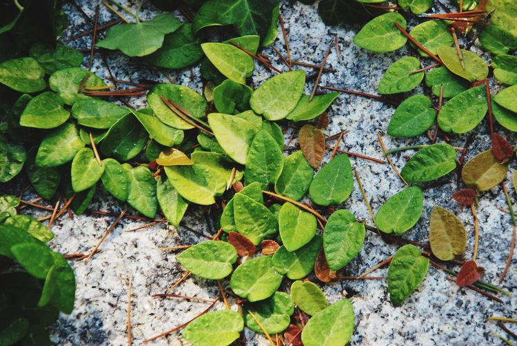 Nature Leaf Plant Part Green Color Growth Plant Nature Beauty In Nature Sunlight Day No People High Angle View Close-up Tranquility Outdoors Leaves Ivy Freshness
