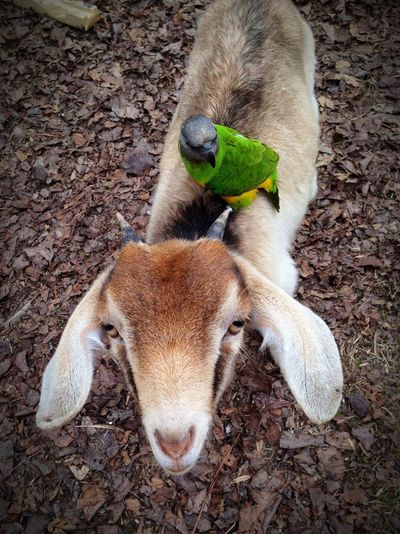 Pampered Pets Senegal Parrot Pygmygoat Domestic Animals Animal Themes Bird Mammal Pet Photography  Fun With Pets Pets Day Out Plggy Back Ride Livestock No People Pet Pals Pet Lover