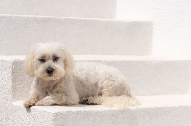 Portrait of white dog relaxing on retaining wall