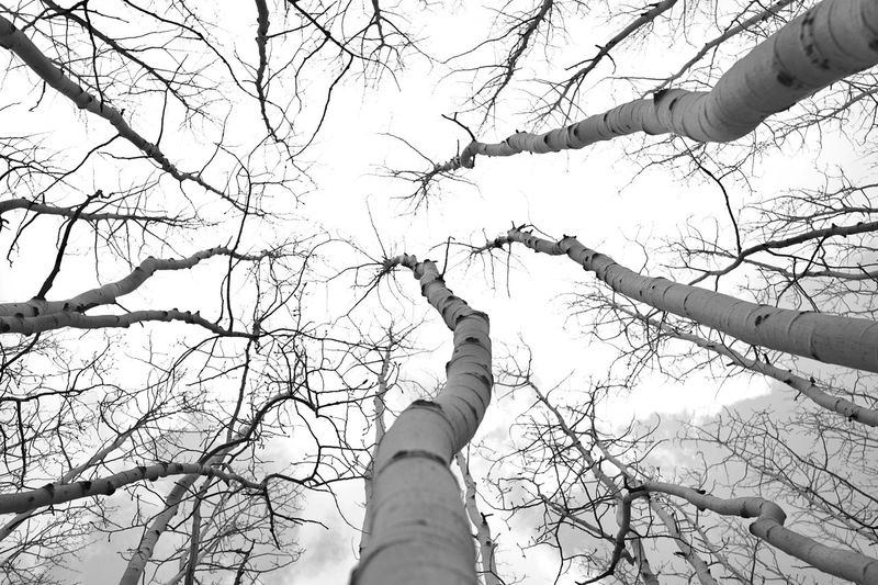 Aspen Trees Low Angle View Outdoors Travel Destinations Reallifephotography Blackandwhite Alpha7 Photooftheday First Eyeem Photo Nature Flagstaff, Az Flagstaff Mountain Roadtrip