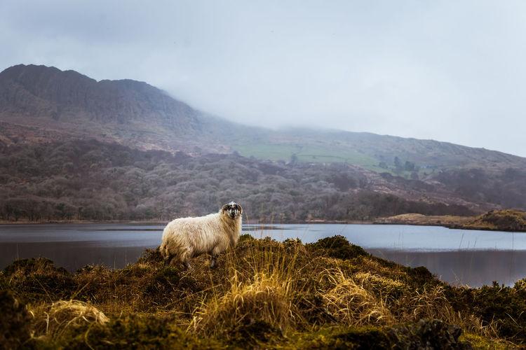Sheep on lakeshore