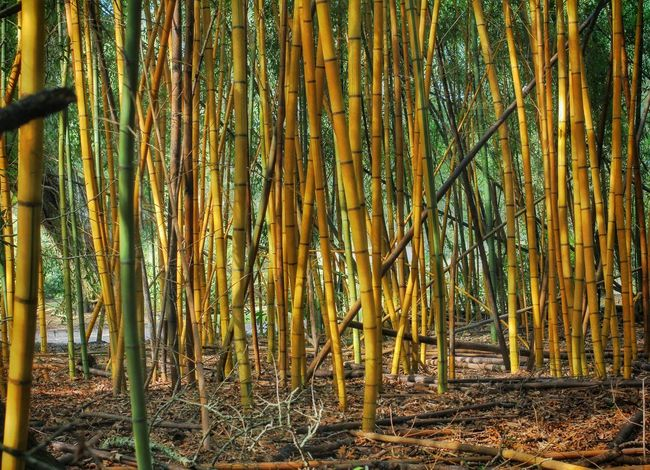 Yellow Bamboo grove, Louisiana Getty Images Premium Collection Pattern Forest Outdoors Bamboo - Plant No People Tree Backgrounds Bamboo Grove Beauty In Nature Yellow Color Yellow Bamboo Avery Island Louisiana