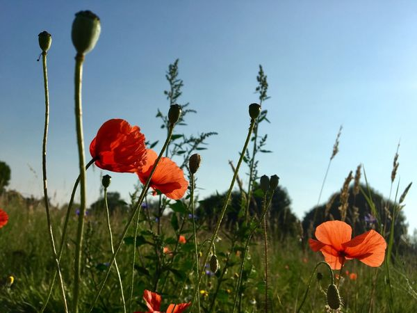 Flower Growth Poppy Plant Nature Petal Beauty In Nature Flower Head Freshness Red Field Fragility Blooming No People Day Outdoors Low Angle View Sky Clear Sky Close-up EyeEm Flower EyeEm Nature Lover Capture The Moment Klatschmohn