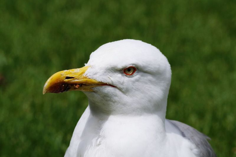 Close-Up Of Seagull Against Grassy Field