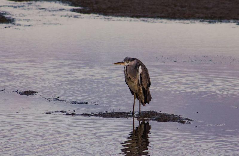 Heron Bird Animals In The Wild Animal Wildlife One Animal Water Lake No People Animal Themes Day Outdoors Nature