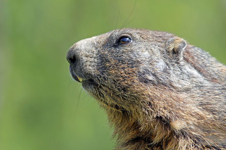 Marmot Murmeltier Animal Wildlife One Animal Animal Themes Animals In The Wild Close-up Animal Head  Focus On Foreground Looking Away Side View Profile View Animal Eye Animal Nose Snout Rodent