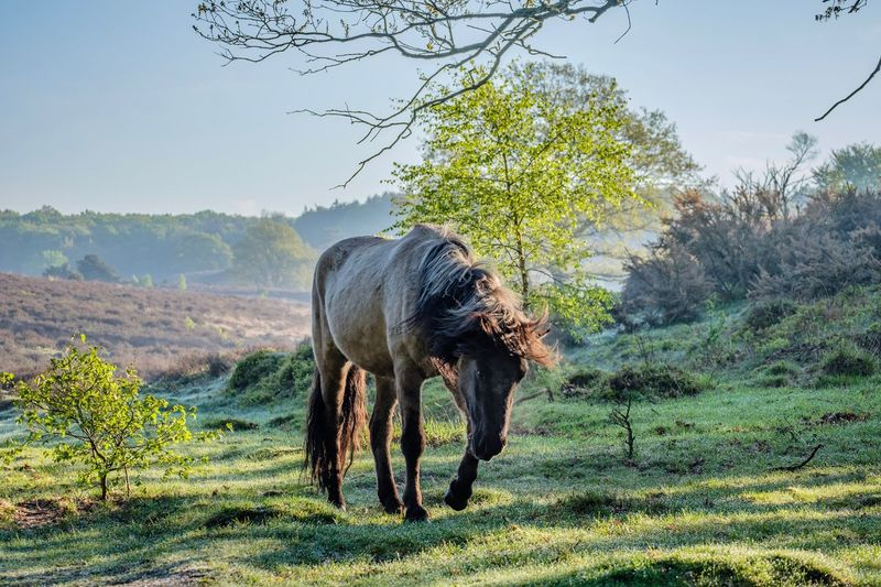 Konik horse Early Morning Light Xt20 Fujifilm X-t20 Grazing Polishhorse Konikhorse Konik Tree Animal Themes Plant Animal Mammal Animals In The Wild Animal Wildlife Nature One Animal Day Land Field Clear Sky No People Outdoors Environment Sky The Great Outdoors - 2018 EyeEm Awards The Great Outdoors - 2018 EyeEm Awards