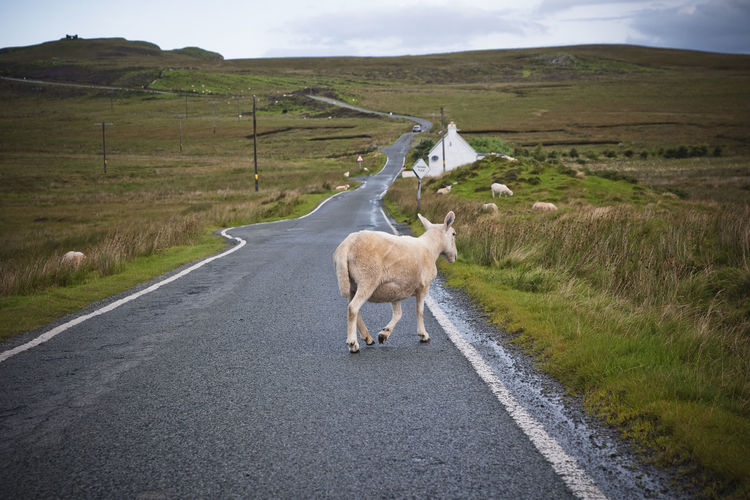 Sheep walking on road by landscape