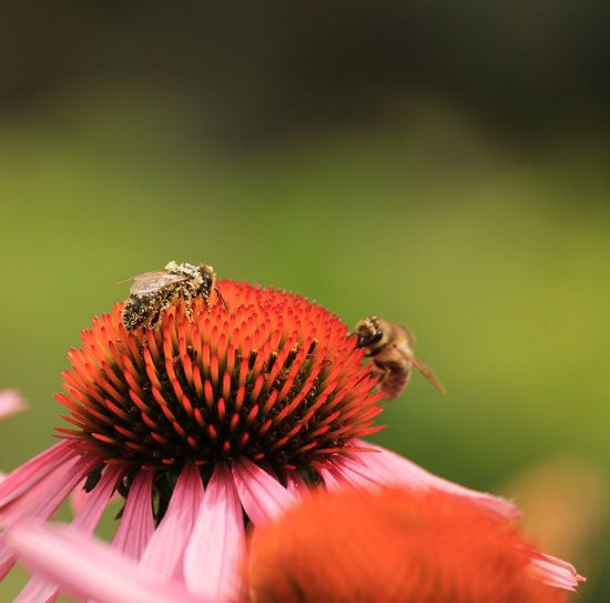 Close-Up Of Honey Bee On Coneflower