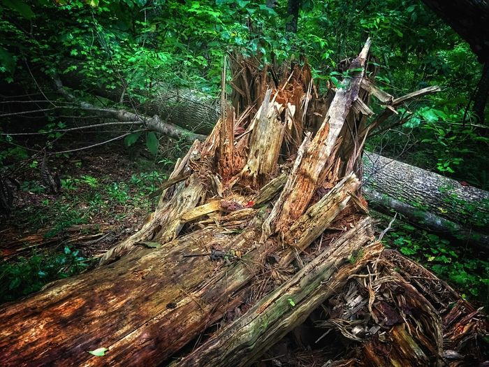 Fallen tree in woods. Tree Trunk Tree Wood - Material Log Deforestation Forest Tree Stump Nature Outdoors No People Timber Dead Tree Day