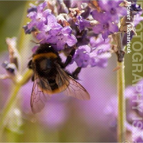 Photooftheday InstaCC Instaccnatured4 Flower K8marieuk Photo365 Bee Bumblebee Lavender Macro Closeup Nature Canon Eos450d Wings Pollen